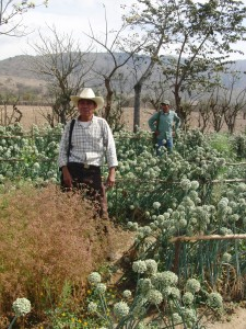 Achi Maya leaders of a seed saving and permaculture initiative show off their organic onion crop
